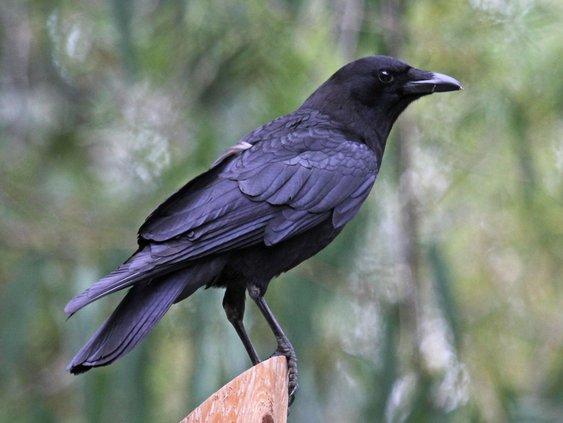 crow bird