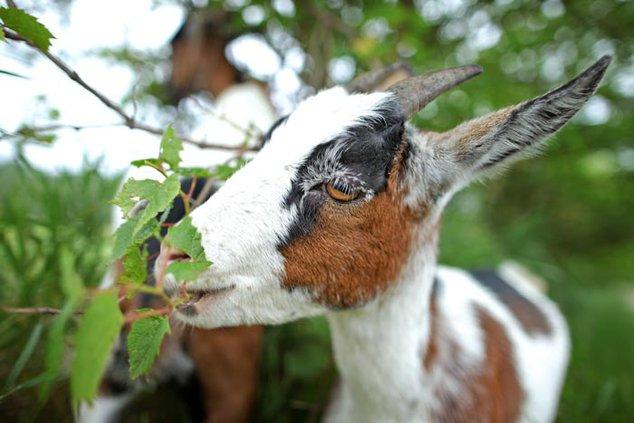 goat stock