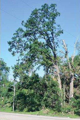 1B B151 tree