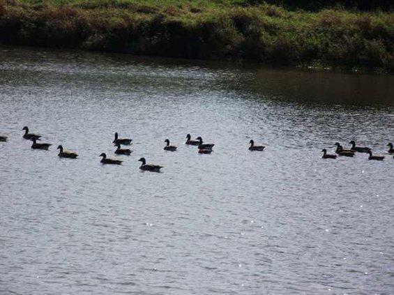 geese lake hillsboro