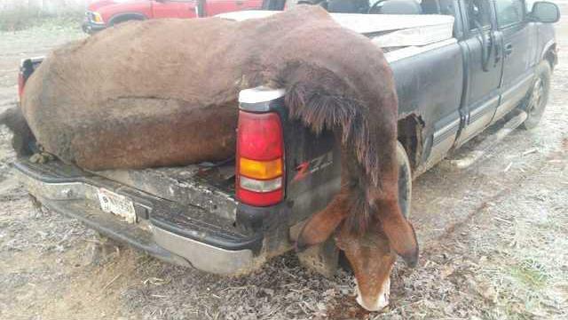 mule crash