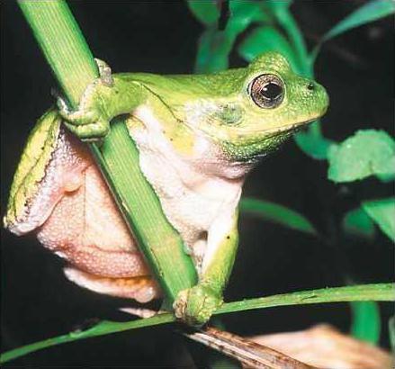Cpes Gray treefrog