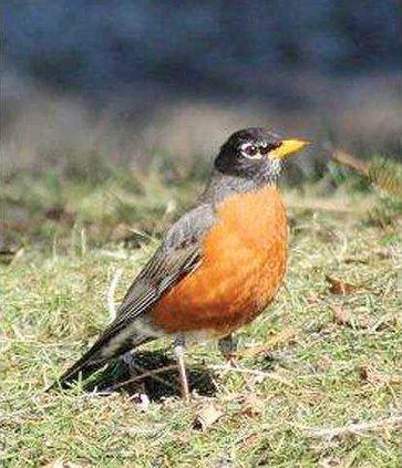 Dutcher robin