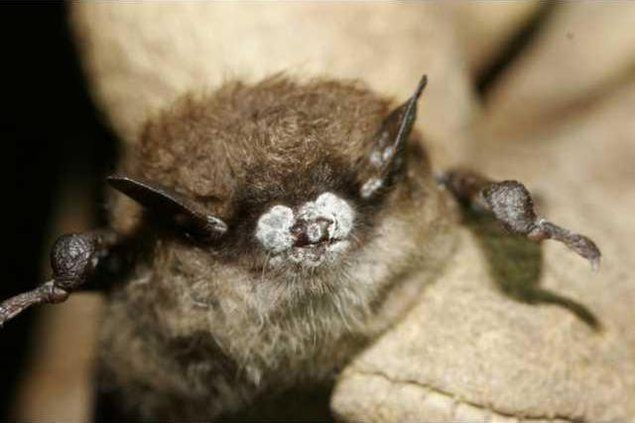 Little-brown-bat-with-white-nose-syndrome-771x514