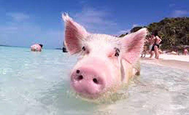 Rowdy Pig