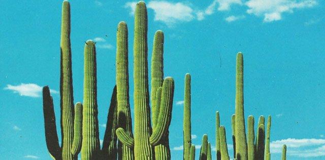 Gibbs_Cactuses