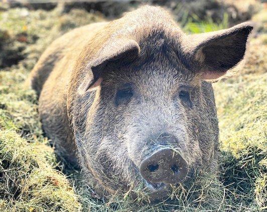 EM_Glamour Pig