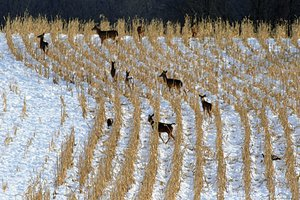 deer winter field