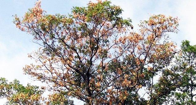 Oak Wilt in the canopy