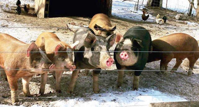 Em's pigs